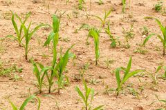 Young corn plant. Dry field with corn. Waiting for the rain. Agricultural farm. Weed. Young corn plant. Dry field with corn. Waiting for the rain. Agricultural stock image