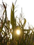 Young corn plant Royalty Free Stock Photography