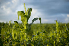 Young corn plant in morning sun. With defocused background royalty free stock photo