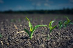 A young corn plant, on a patch of field lit by the sun.  stock photo