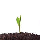 Young corn plant sprout Royalty Free Stock Photo