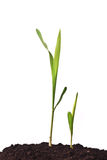 Young corn plant sprout Stock Photos