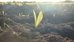Young corn plant, Zea mays