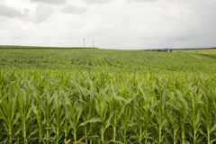 Young corn plantation Royalty Free Stock Images