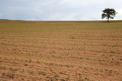 Young corn plantation Royalty Free Stock Photo