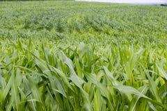 Young corn plantation Stock Photos