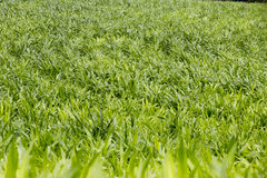 Young corn plantation Royalty Free Stock Image