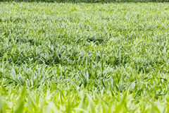 Young corn plantation Stock Photo