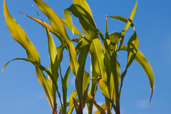 Young Corn Plants Stock Photography