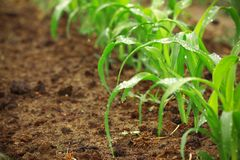 Young corn plants Royalty Free Stock Image