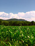 Young corn plants. Cornplants in front of trees infront of mount tom in front of clouds on a bright clear day Stock Image
