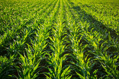 Young Corn Plants Stock Photos
