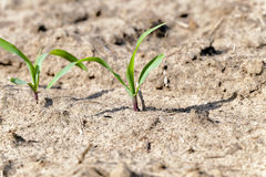Young corn plants close up Royalty Free Stock Photos