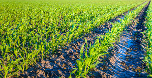 Young corn plants in converging rows Royalty Free Stock Image