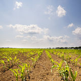Young corn plants Stock Images