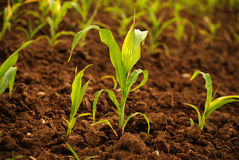 Young corn plants Royalty Free Stock Photography