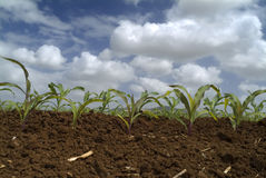 Young corn plants field. Young corn plants in the field and clouds Stock Photos