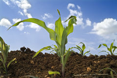 Young corn plants field Stock Photos