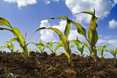 Young corn plants field. Young corn plants in the field and clouds Stock Photo