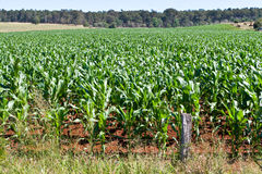 Young Corn Plants In Field Royalty Free Stock Image