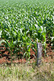 Young Corn Plants In Field Stock Photos