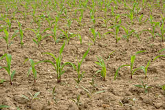 Young corn plants in a field Royalty Free Stock Image
