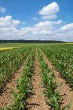 Young corn plants in a field Royalty Free Stock Photos