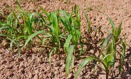 Young corn plants stock image