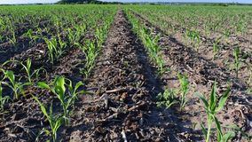Young corn in summer. Young corn plants growing on the field in early summer stock footage