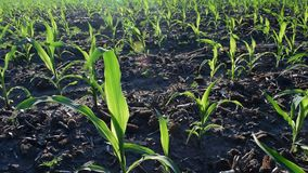 Young corn in summer. Young corn plants growing on the field in early summer stock video footage