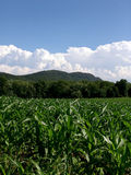 Young Corn Plants Massachusetts. Young corn plants at the base of mt. tom in easthampton massachusetts, under a deep blue sky with a full bank of clouds Stock Images