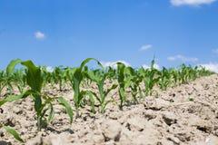 Young corn plants Stock Photos