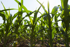 Young corn races towards the sky before winter comes. Royalty Free Stock Photo