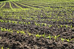 Young corn seedling Royalty Free Stock Images