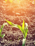 Young corn seedling grows Stock Photo