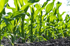 Young corn seedlings Royalty Free Stock Images