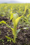 Young Corn Stalk Stock Images