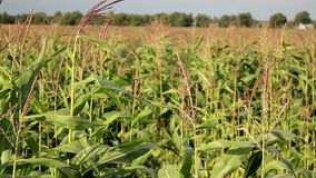Young corn stalks in a big corn field stock video
