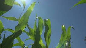 Young corn stalks blowing in the wind. Low angle. Slow motion. HD 1080p. Young corn stalks blowing in the wind. Low angle. Shot at 240fps. Slow motion. Shot in stock video