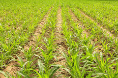 Young corn stalks on plow land Royalty Free Stock Image