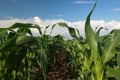 Young corn. In sunny day stock photos