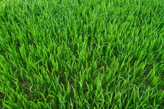 Young corn, top view on green blades. A view of young cereal, green stalks. View from above Royalty Free Stock Images