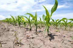 Young corn using herbicides is protected from weeds. In the field, young corn using herbicides is protected from weeds royalty free stock photography