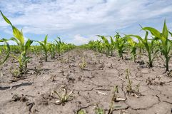 Young corn using herbicides is protected from weeds. In the field, young corn using herbicides is protected from weeds royalty free stock images
