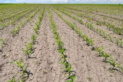 Young corn using herbicides is protected from weeds. In the field, young corn using herbicides is protected from weeds royalty free stock photos