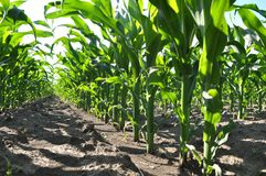 Young corn using herbicides is protected from weeds. In the field, young corn using herbicides is protected from weeds stock photos