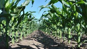 Young corn using herbicides is protected from weeds. In the field, young corn using herbicides is protected from weeds stock images