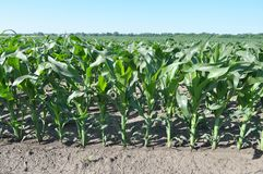 Young corn using herbicides is protected from weeds. In the field, young corn using herbicides is protected from weeds stock photography
