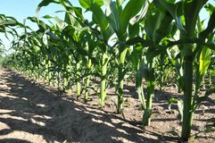 Young corn using herbicides is protected from weeds. In the field, young corn using herbicides is protected from weeds royalty free stock image