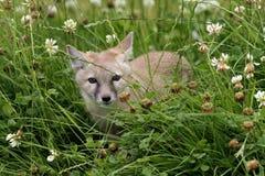 Young corsac fox. Corsac fox baby hiding in the grass Royalty Free Stock Photo